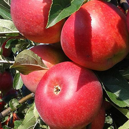 Vandenoever Appels